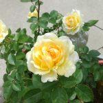 インフィニティローズの育て方|はじめてのバラ栽培におすすめのミニバラ