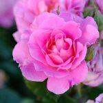 初心者に最適なバラの選び方|初めてのバラ栽培での注意ポイント