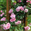 バラ苗の育て方|地植えのバラ苗植え方手順とポイント