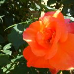 四季咲きのバラ|花殻つみのタイミングや剪定のコツ