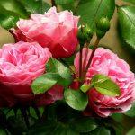 四季咲きのバラ秋のお手入れ|秋バラの開花準備