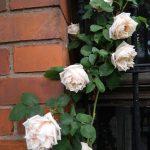 バラのお手入れの時間|週末ガーデナーでもバラは育てられる?【その2】