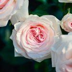 四季咲きのバラってどんなバラ? 植えればいつでも咲くの?