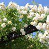 バラのお手入れの時間|初心者週末ガーデナーでもバラは育てられる?