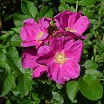はじめてのバラ栽培におすすめのバラ|ハマナスの育て方