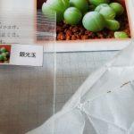 種からの多肉植物生育日記|ギバエウム銀光玉