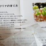 種からの多肉植物生育日記|モニラリア①