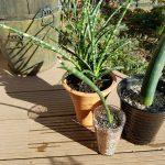 楽しい植え替えざんまい再び!|サンスベリアの植え替え