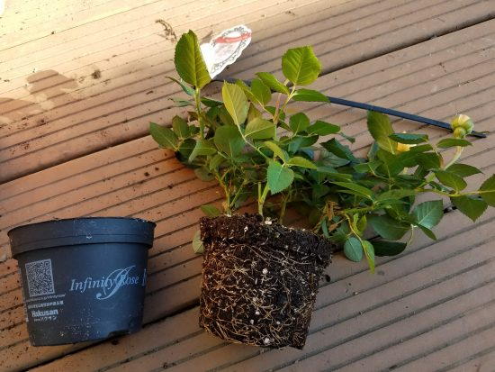 の 替え ミニバラ 植え バラの植え方について