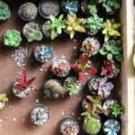 種から育てる多肉植物|多肉植物の種まき方法【準備編】