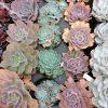 エケベリアの室内栽培は冬限定|エケベリアを育てる【改訂版】