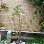 【実践】年末のバラ苗の植え付けと鉢上げ