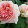 アミ・ロマンティカの魅力|バラ苗のネット購入&冬の植え付け
