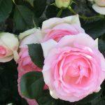 ピエール・ドゥ・ロンサールは本当におすすめのバラ?初心者むけ?
