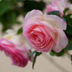ぜひ育てたい!ピエール・ドゥ・ロンサールのような四季咲きのバラ