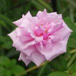 バラの分類の意味|分類からわかることは意外と多い?