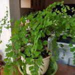 多肉植物の種まきのリトライとクワイの水栽培