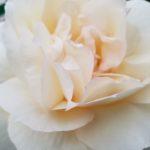 モーツァルトとチャイコフスキーの育て方|偉大なる音楽家の名前のバラ