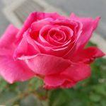 香りのバラ芳純の育て方|香水にもなった芳純の魅力