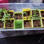 室内栽培にも波乱の予感!|バラの挿し木と多肉植物の実生苗