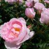 バラの咲き方・花形ガイド3 | カップ咲き(丸弁・波状弁・ディープ・オープン)