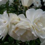 バラの咲き方・花形ガイド4|丸弁平咲き・芍薬咲き