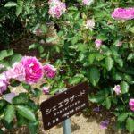 バラの季節に心浮かれて|バラと多肉植物を巡るあれこれ