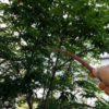 シマトネリコを育てるとき|害虫とその対策