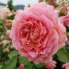 バラの咲き方・花形ガイド5|ロゼット咲き・抱え咲き・ポンポン咲き