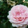 エウリディーチェの魅力|ロサオリエンティスの苗購入から植え付けまで
