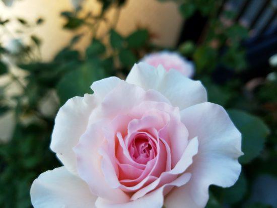 エウリディーチェの魅力|ロサオ...