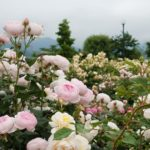 バラ公園「一本木公園」バラ祭りと信州のおすすめ旅