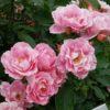 四季咲きのバラを長く咲かせ続けるためのコツ
