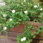 長期スパンでお留守番するバラの水やり|自動給水器を購入するか否か?