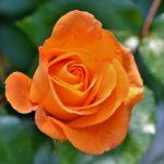 バラの天敵カミキリムシ&テッポウムシの被害と対策