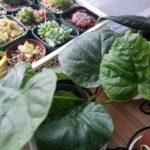 観葉植物「フィカス属」の植え替え|ゴムの木とウンベラータ