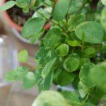 ヨウシュコバンノキの魅力と育て方|儚げな薄い葉っぱがキュート