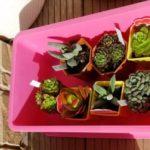 多肉植物の育て方【仕立直し】セデベリア・グーストの仕立直し