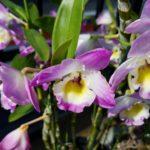 デンドロビウムの育て方|蘭の見切り苗復活プロジェクト