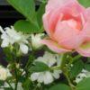 秋バラのために|夏の四季咲きのバラのお手入れ