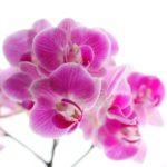 胡蝶蘭の日常管理と育て方|蘭の見切り苗復活プロジェクト
