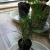 松のミニ盆栽の作り方|自分で楽しむためのミニ盆栽づくり