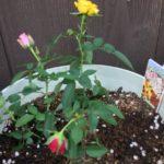 はじめてのミニバラ栽培|植え替えと冬支度を失敗しないためには