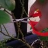 バラの強剪定のコツ|切るのはどの位置?