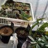 雪がないから簡易温室でもOK!ベランダの冬支度|簡易温室での植物の越冬