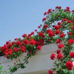 これから育てるつるバラを選ぶときとバラ・パスカリについて