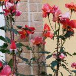実践!庭植えのバラの強剪定と冬支度