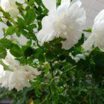 バラのこぶ病の対処法【我流】スノーシャワープチシャンテ
