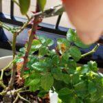 鉢植えのバラ・ミニバラの冬の強剪定【実践編】