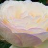 バラの咲くベランダガーデニング【2019】チャイコフスキー